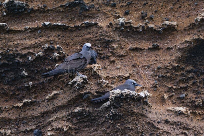 在熔岩岩石的两只熔岩鸥 免版税库存照片