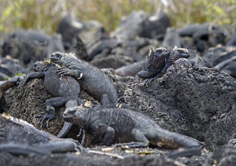 在熔岩岩石,加拉帕戈斯群岛,厄瓜多尔的海产鬣蜥蜴 免版税库存图片
