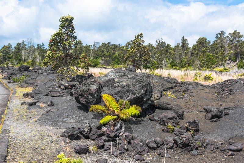 在熔岩荒野的植被,夏威夷 库存照片