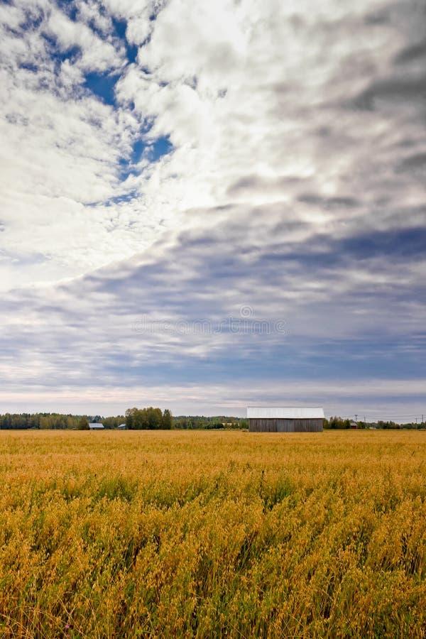 在燕麦领域的云彩 免版税库存照片