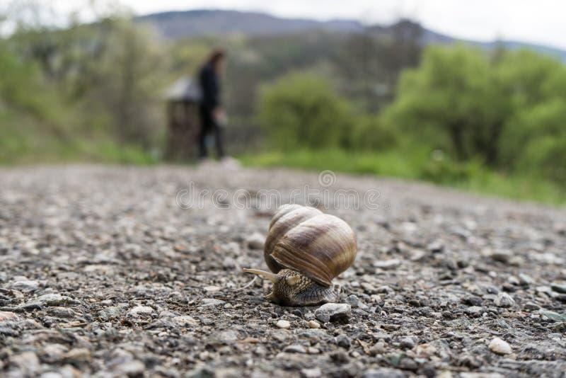 在爬行在路、夏日在庭院,一只共同的锅牛上升在树桩,食用蜗牛或者escargot的壳的大蜗牛,是 库存照片