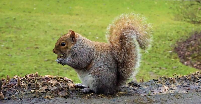 在爱丁堡吃的灰色灰鼠 免版税库存图片