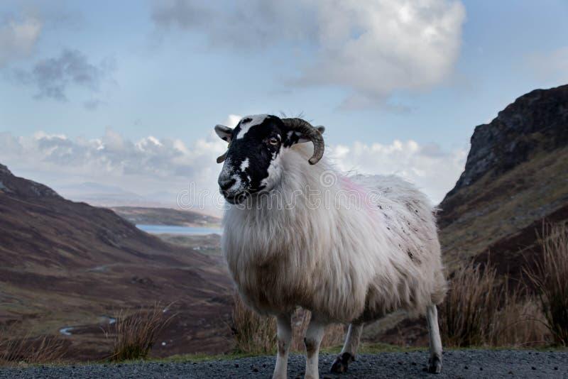 在爱尔兰` s浩大的Donegal山的一只山绵羊环境美化 库存照片