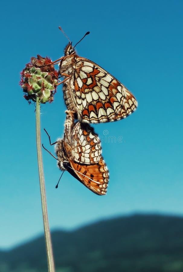 在爱的两只蝴蝶 免版税库存照片