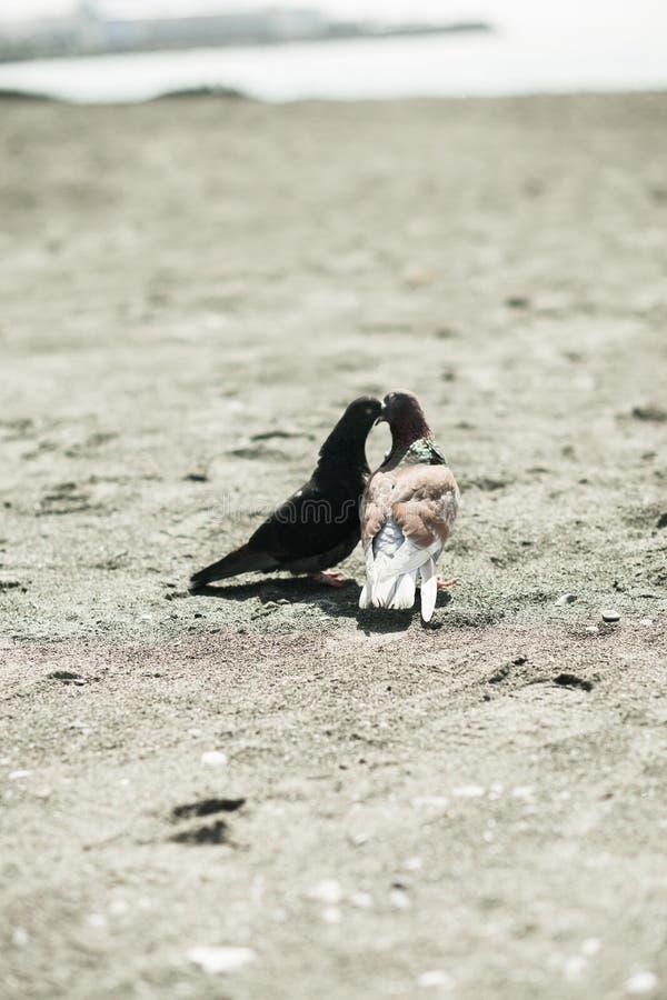在爱的两只鸠在海滩 图库摄影
