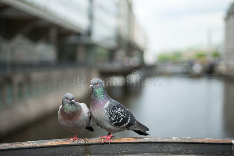 在爱的夫妇鸽子 免版税库存照片