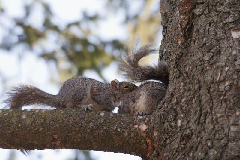 Download 在爱的灰鼠 库存图片. 图片 包括有 通配, 啮齿目动物, 尾标, 宠物, ,并且, 螺母, 逗人喜爱, 灰色 - 30337033