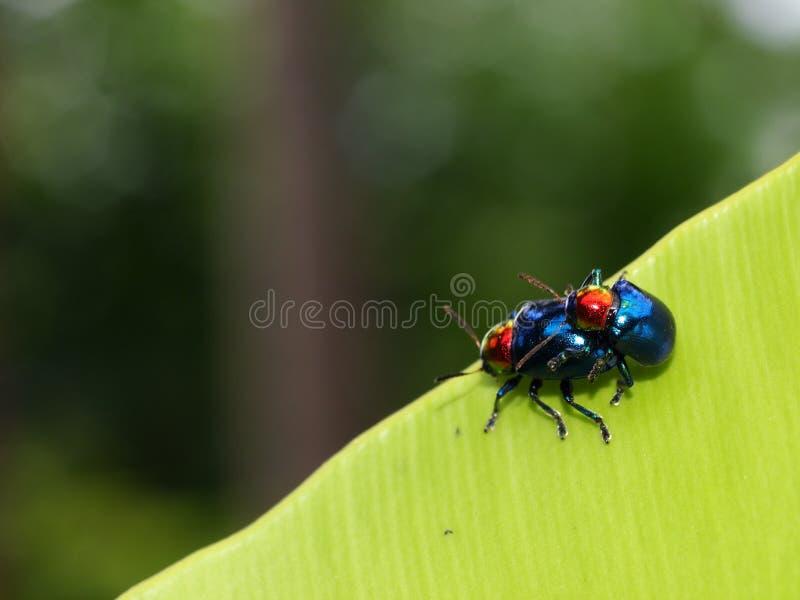 在爱的臭虫甲虫 免版税库存照片