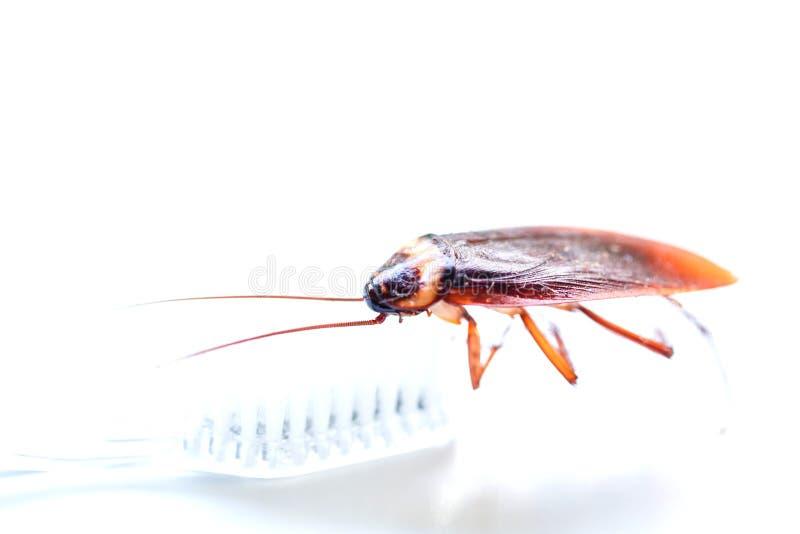在牙刷的接近的蟑螂在白色背景背景 免版税库存照片