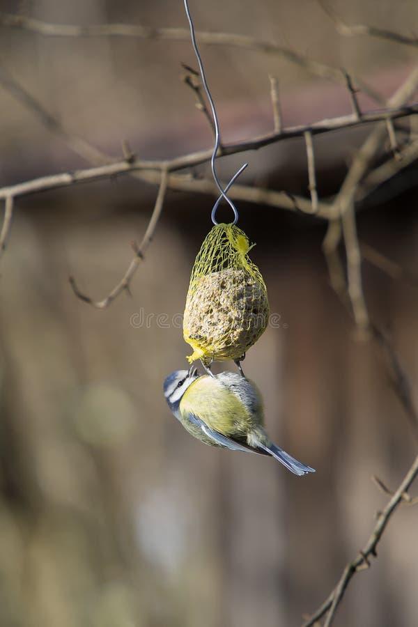 在牛颈肉活塞的Bluetit鸟 免版税库存照片