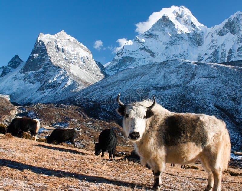 在牧场地和ama dablam峰顶的牦牛 库存图片