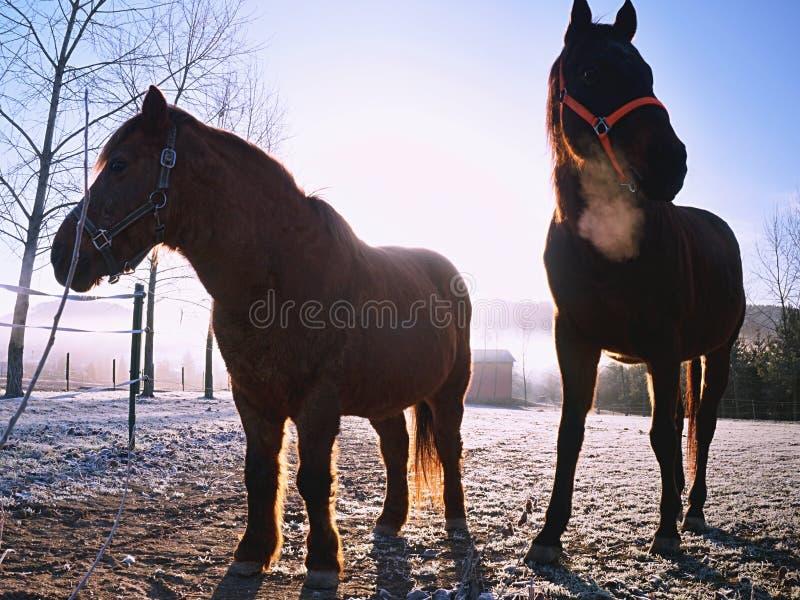 在牧场地在一个有薄雾的早晨,在秋季风景的步行马的布朗马 免版税库存照片