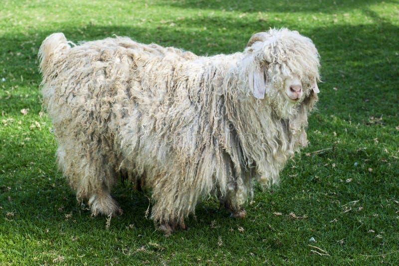 在牧场地的一只成人毛海织物山羊 库存照片