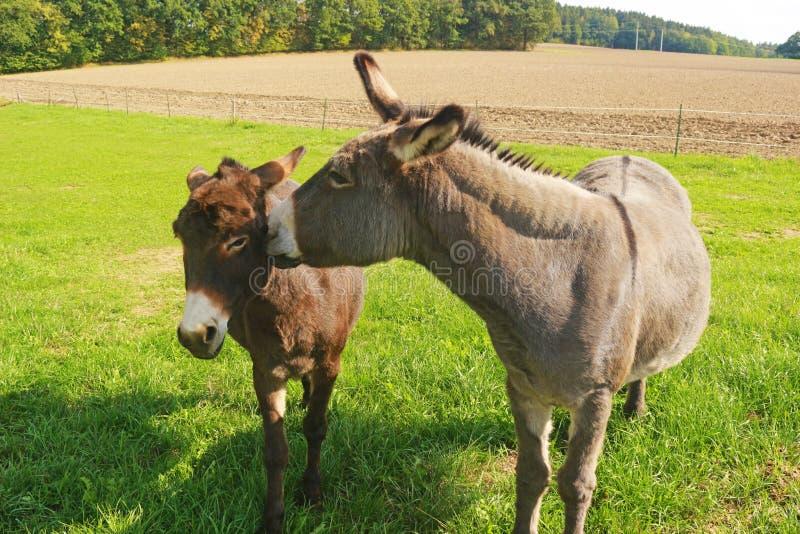 在牧场地的两头驴 免版税库存图片