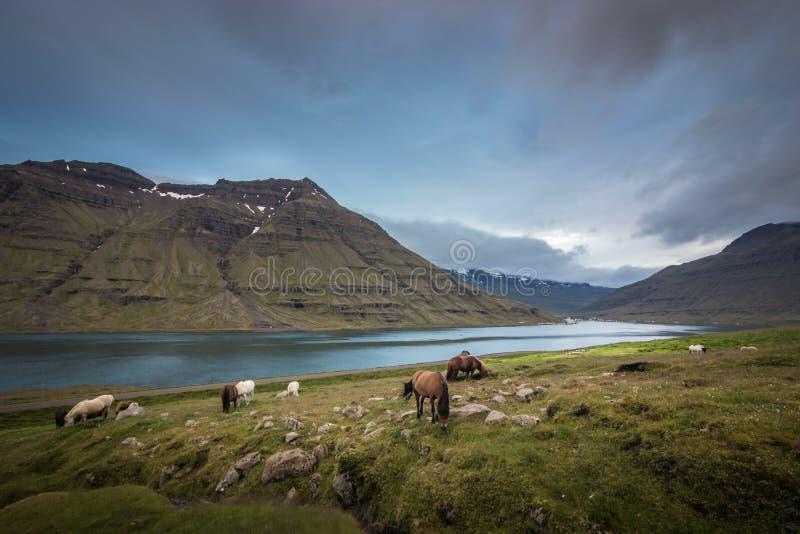 在牧场地的冰岛马 库存照片