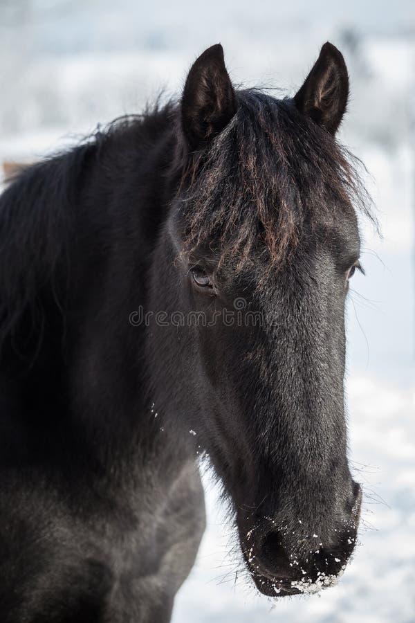 在牧场地的幼小黑白花的马在冬天 免版税图库摄影