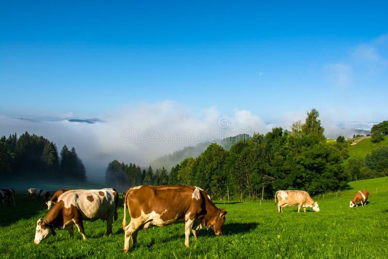 在牧场地的母牛有雾的谷的 免版税图库摄影