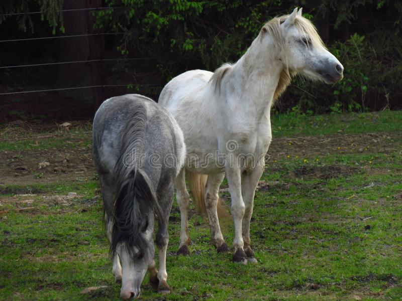 在牧场地的灰色小马,逗人喜爱在草甸的一点动物 免版税库存照片