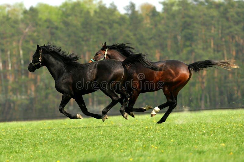 在牧场地的疾驰的马 免版税图库摄影