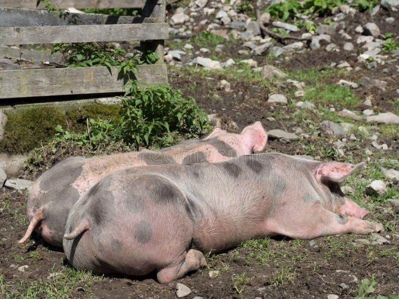 在牧场地的睡觉猪 免版税库存图片