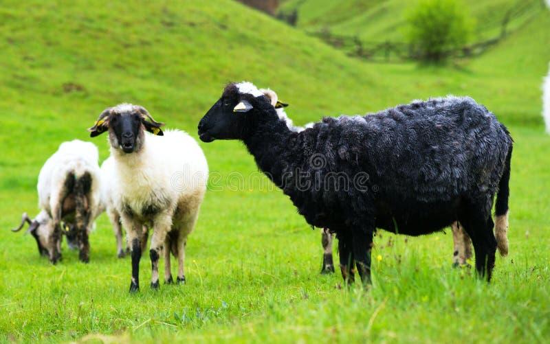 在牧场地的黑白绵羊 免版税图库摄影