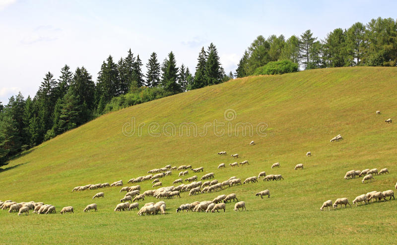 在牧场地的绵羊 图库摄影