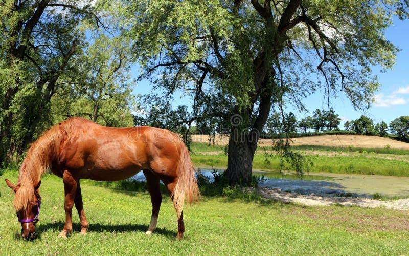 在牧场地领域的布朗马 免版税库存图片