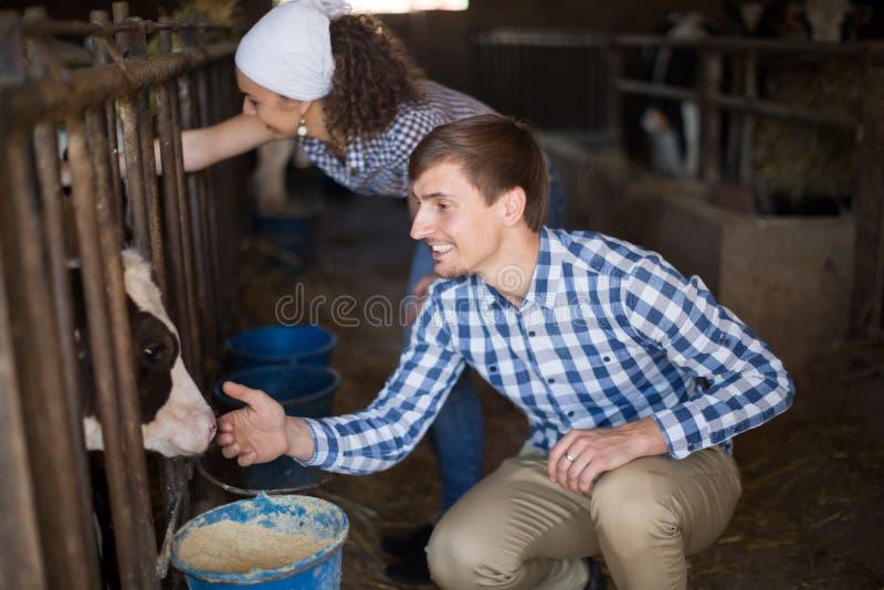 在牧场结合有奶牛的雇员 图库摄影