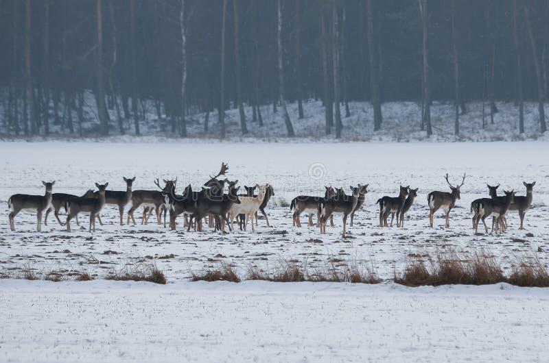 在牧群的白变种小鹿在雪 免版税库存图片