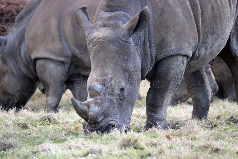 在牧群的空白犀牛 免版税库存图片