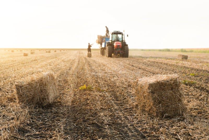 在牵引车拖车- b的年轻和强的农夫投掷干草捆 库存图片