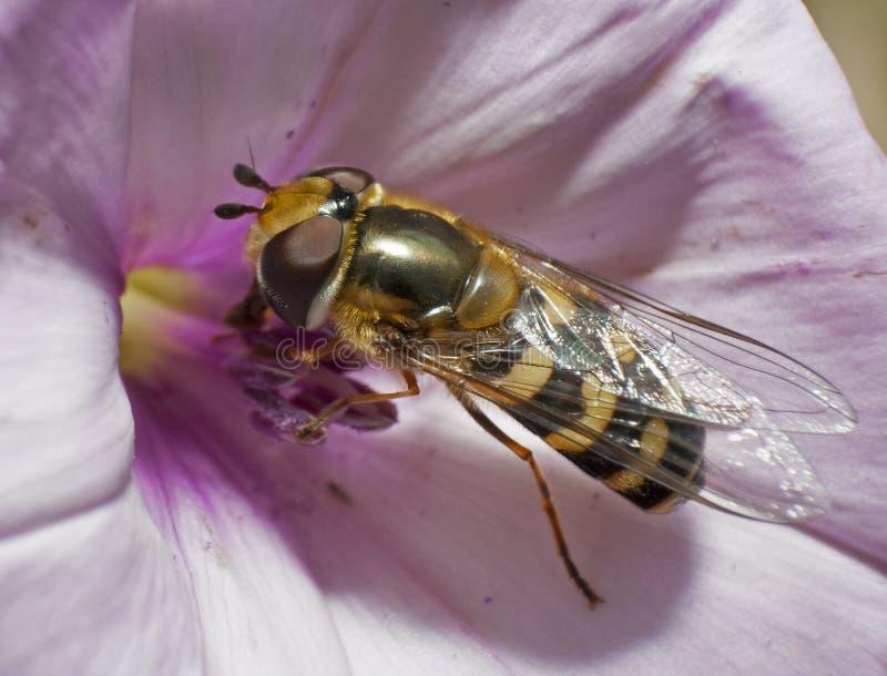 在牵牛花的Hoverfly 库存图片