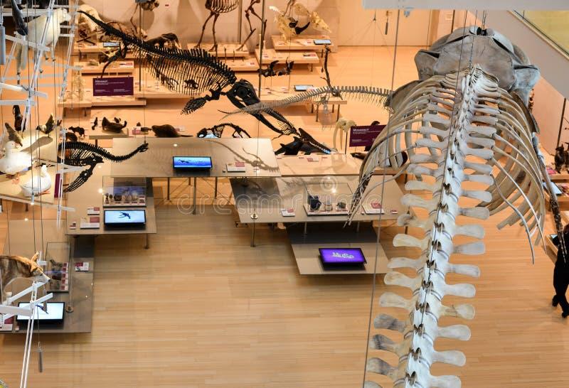 在特伦托,特伦托自治省著名科技馆的pemanent陈列的taxidermized动物  免版税库存照片