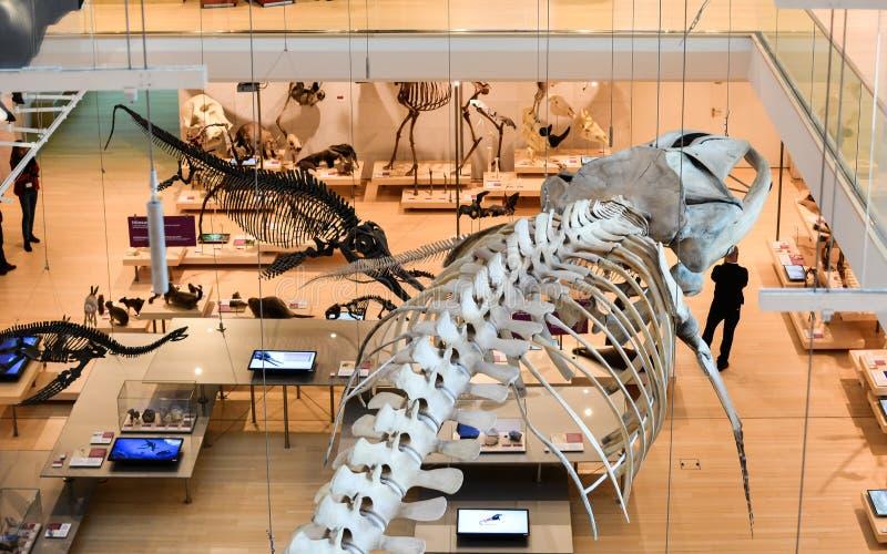 在特伦托,特伦托自治省著名科技馆的pemanent陈列的taxidermized动物  库存图片
