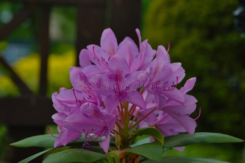 在特写镜头射击的庭院花 图库摄影