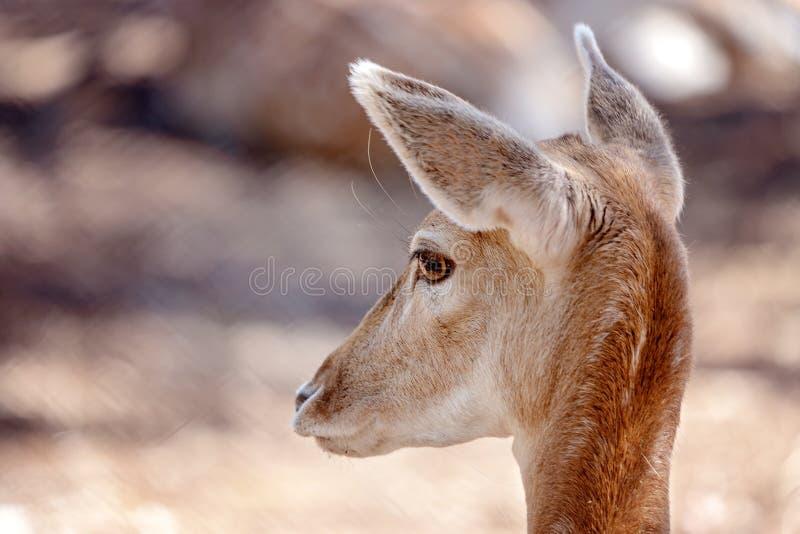 在特写镜头的一头幼小母鹿鹿 免版税库存照片
