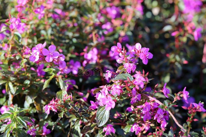 在特写镜头的多朵美丽的紫色粉红色花 免版税库存图片
