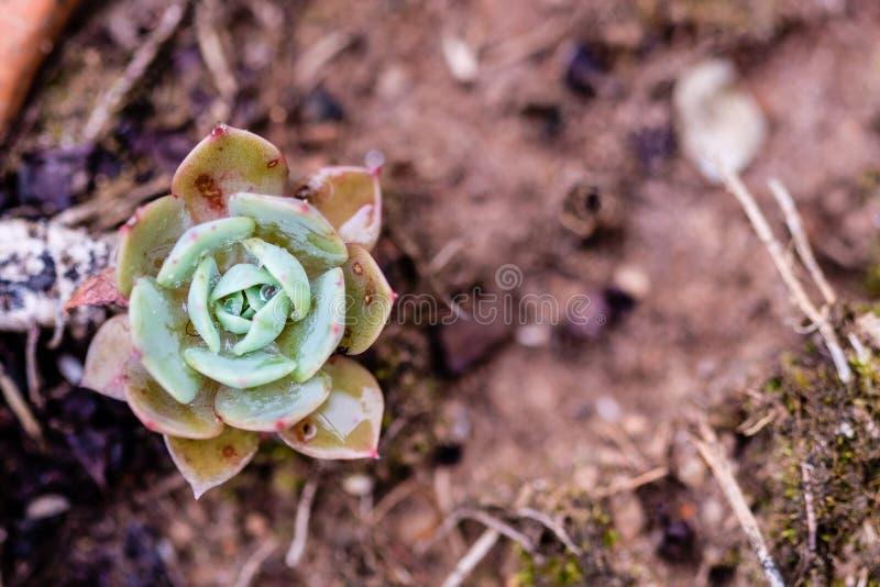 在特写镜头的多汁仙人掌,与美好的样式 库存图片