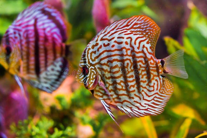 在特写镜头的滑稽的红色绿松石铁饼鱼与另一个游泳在背景中的给镜子作用 免版税图库摄影