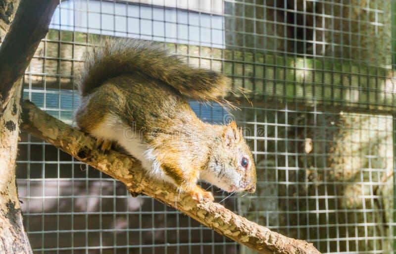 在特写镜头的逗人喜爱的美国红松鼠走在树枝啮齿目动物的一张可爱的野生生物画象的 免版税库存图片