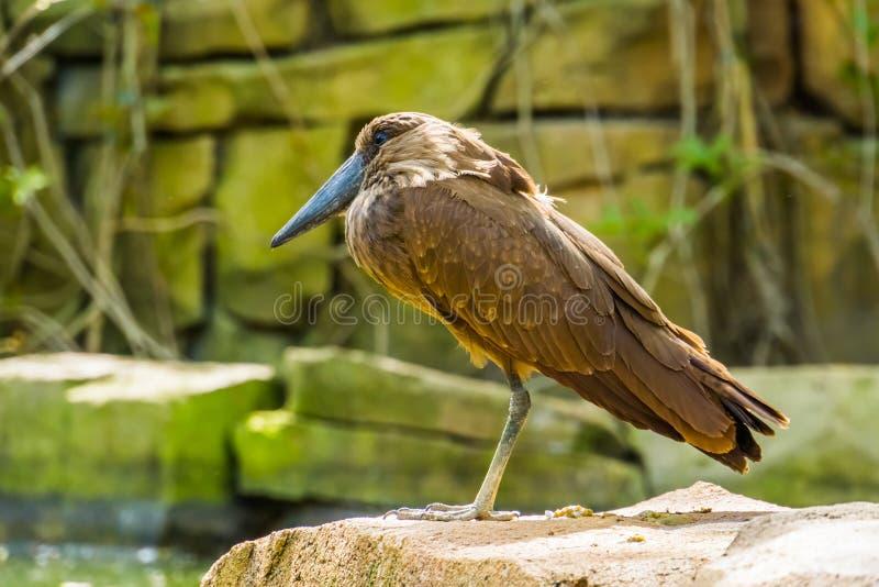在特写镜头的Hamerkop鸟,从马达加斯加,异乎寻常的物种的热带涉水鸟 库存图片