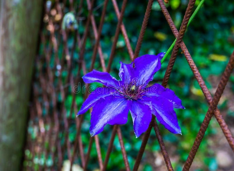 在特写镜头,上升的植物,普遍的耕种的庭园花木,装饰花的美丽的紫色铁线莲属花 免版税库存图片