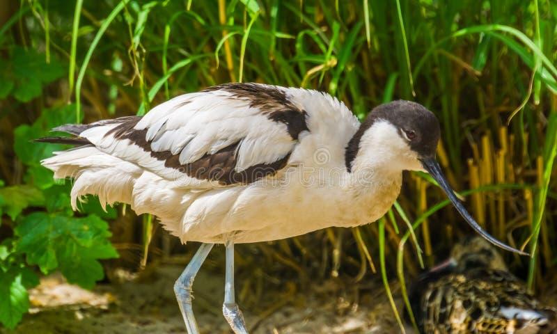 在特写镜头,与一张长的弯曲的票据的黑白鸟,从欧亚大陆的涉水鸟的染色长嘴上弯的长脚鸟 免版税库存图片