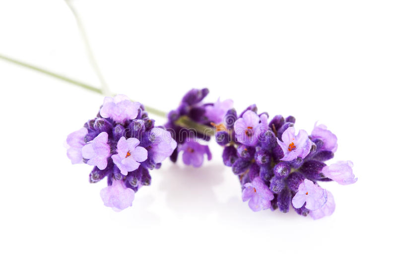 在特写镜头的淡紫色花 免版税图库摄影