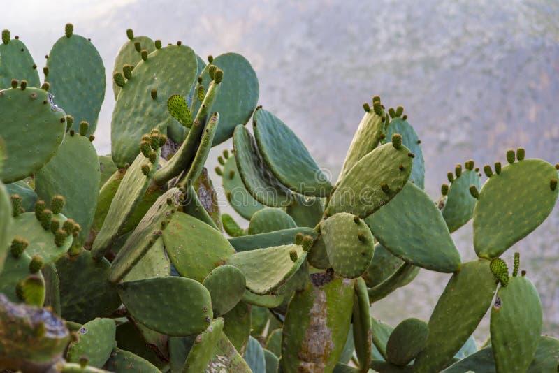 在特拉帕尼,西西里岛附近的结果的胭脂仙人掌(仙人球)仙人掌 免版税图库摄影