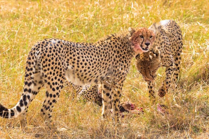 在牺牲者附近的三头大猎豹 肯尼亚mara马塞语 免版税库存图片