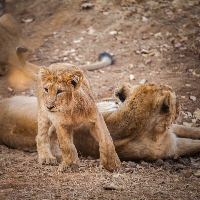 在狂放的亚洲狮子 库存图片