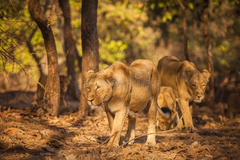 在狂放的亚洲狮子 库存照片