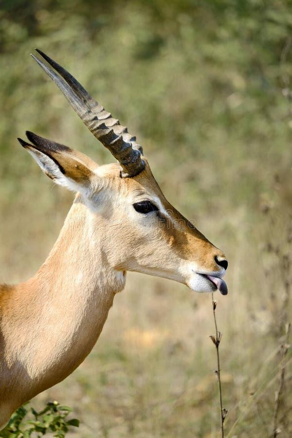 在狂放的公飞羚伸出舌头  库存图片