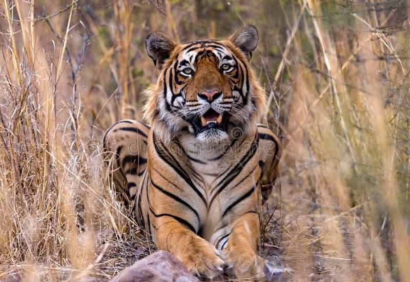在狂放的印地安老虎 库存图片